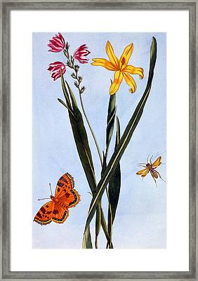 South American Ixia Framed Print by Pierre Joseph Buchoz