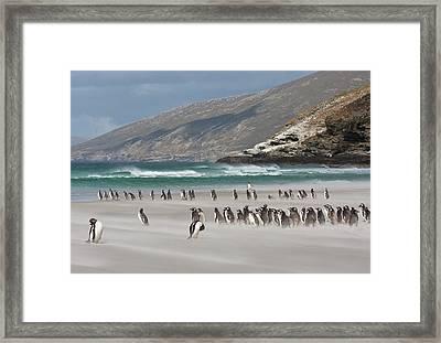 South Atlantic, Falkland Islands Framed Print by Jaynes Gallery