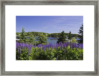 South Bristol And Lupine Flowers On The Coast Of Maine Framed Print by Keith Webber Jr
