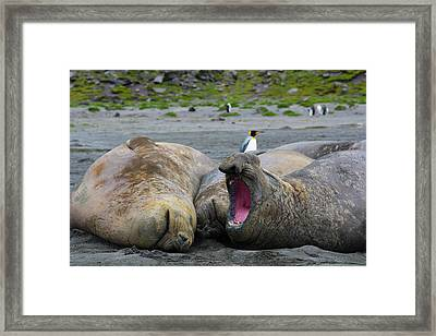 South Georgia Saint Andrews Southern Framed Print by Inger Hogstrom