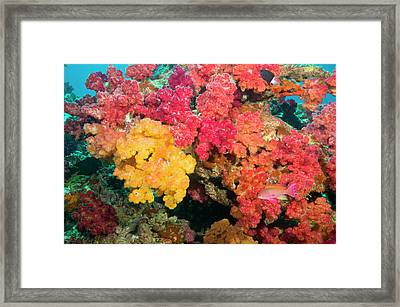 South Pacific, Fiji, Rainbow Reef Framed Print by Stuart Westmorland