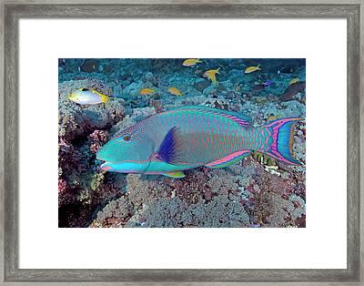 South Pacific, Solomon Islands, Meri Framed Print by Jaynes Gallery