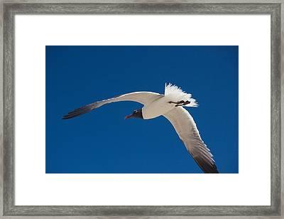 South Padre Seagull Framed Print