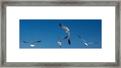 South Padre Seagull Dance Framed Print