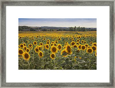 South West Sunflowers Framed Print