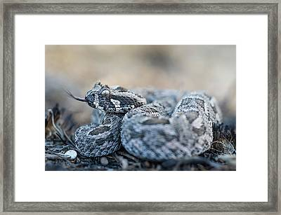 Southern Adder Framed Print by Peter Chadwick