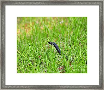 Southern Black Racer Framed Print by Al Powell Photography USA