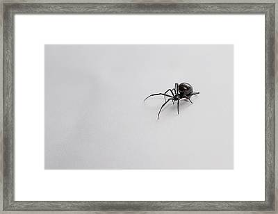 Southern Black Widow Spider Framed Print
