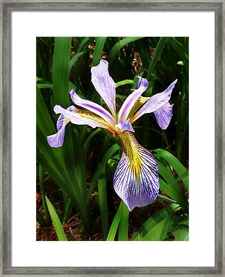 Framed Print featuring the photograph Southern Blue Flag Iris by William Tanneberger
