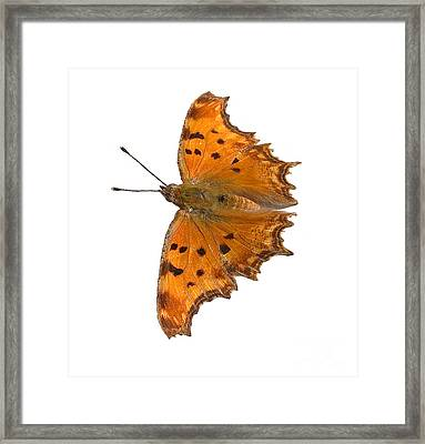Southern Comma Butterfly Framed Print
