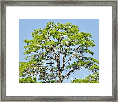 Southern Cypress Framed Print by Al Powell Photography USA
