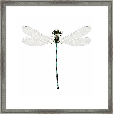 Southern Damselfly Framed Print by Natural History Museum, London