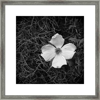 Southern Dogwood Framed Print by Carrie Cranwill