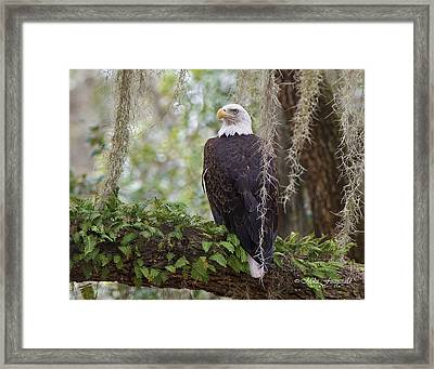 Southern Eagle Framed Print