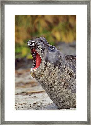 Southern Elephant Seal Bull Mouth Wide Framed Print by Martin Zwick