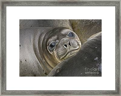 Southern Elephant Seal Pup South Framed Print by Yva Momatiuk and John Eastcott