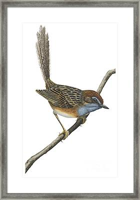 Southern Emu Wren Framed Print by Anonymous