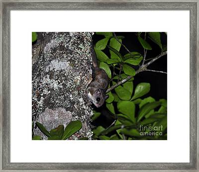 Southern Flying Squirrel Framed Print by Al Powell Photography USA