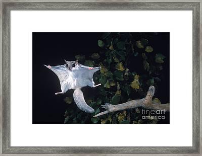 Southern Flying Squirrel Framed Print by Nick Bergkessel Jr