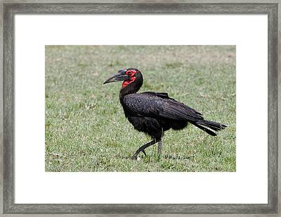 Southern Ground Hornbill, Maasai Mara Framed Print by Adam Jones