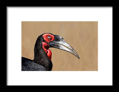 Hornbill Framed Prints