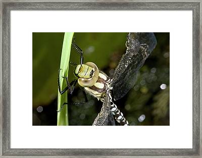 Southern Hawker Dragonfly Framed Print by Bob Gibbons