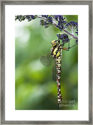 Southern Hawker Dragonfly Framed Print by Tim Gainey