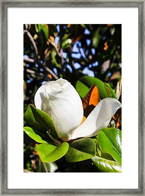 Southern Magnolia Blossom Framed Print