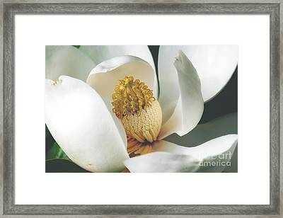 Southern Magnolia Tree Bloom Framed Print