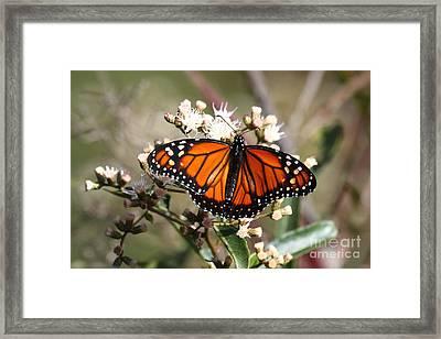 Southern Monarch Butterfly Framed Print
