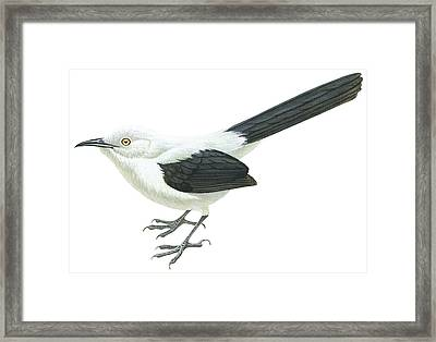 Southern Pied Babbler  Framed Print by Anonymous
