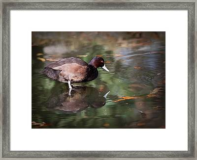 Framed Print featuring the photograph Southern Pochard by Tyson and Kathy Smith