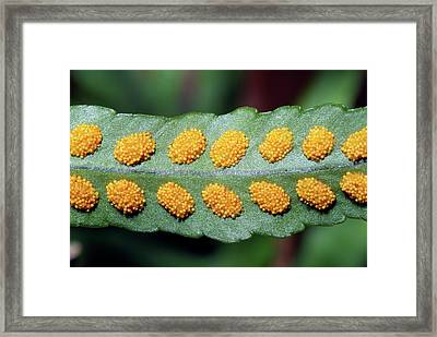 Southern Polypody (polypodium Australe) Framed Print