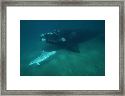 Southern Right Whale And Bottlenose Framed Print