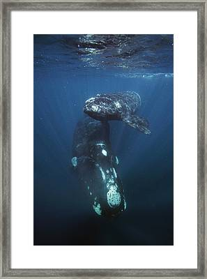 Southern Right Whale And Calf Valdes Framed Print by Hiroya  Minakuchi