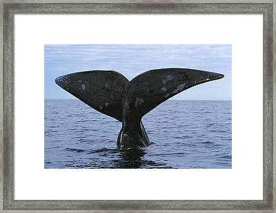 Southern Right Whale Diving Valdes Framed Print by Hiroya Minakuchi