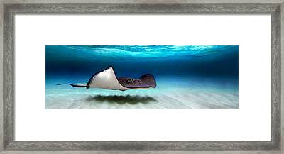 Southern Stingray Dasyatis Americana Framed Print by Panoramic Images