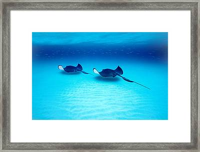 Southern Stingrays Grand Caymans Framed Print