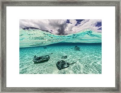 Southern Stingrays Swim Framed Print by David Doubilet