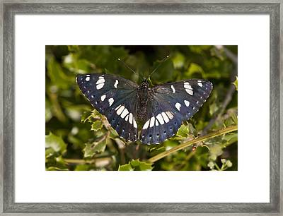 Southern White Admiral Butterfly Framed Print by Science Photo Library