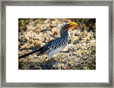 Southern Yellow Billed Hornbill Framed Print by Craig Brown