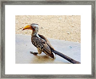 Southern Yellow-billed Hornbill In Kruger National Park-south Africa Framed Print by Ruth Hager