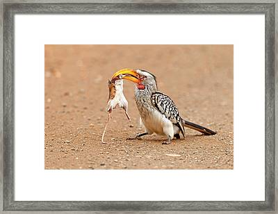 Southern Yellow-billed Hornbill With Prey Framed Print