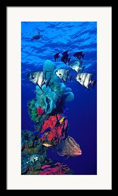 Spadefish Framed Prints
