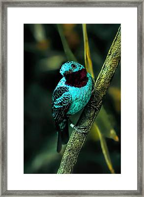 Framed Print featuring the painting Spangled Cotinga Turquoise Bird by Tracie Kaska