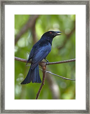 Spangled Drongo Calling Queensland Framed Print by Martin Willis