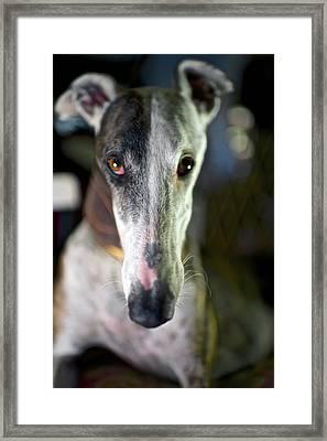Spanish Greyhound Framed Print by Nano Calvo