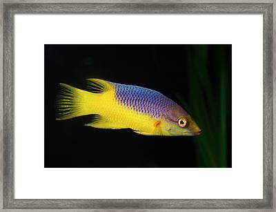 Spanish Hogfish Framed Print by Nigel Downer