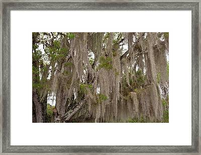 Spanish Moss Growing On Wild Tamarind Framed Print
