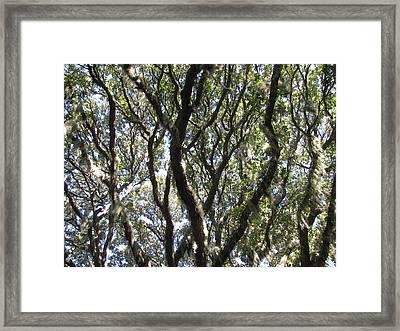 Spanish Moss Oak Framed Print